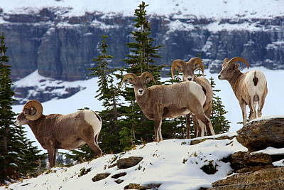 Photograph - Bighorn Sheep At Glacier National Park by Jetson Nguyen