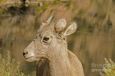 Photograph - Bighorn Sheep Baby by Kelly Black