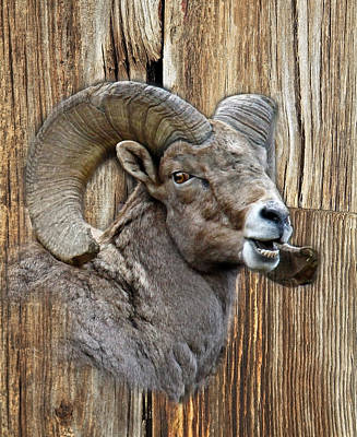 Bighorn Sheep Barnwood Art Print