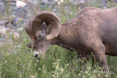 Art Print featuring the photograph Bighorn Sheep by Chris Scroggins