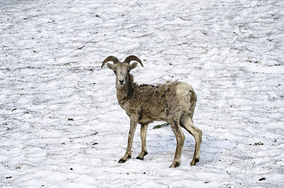 Crystal Wightman Rights Managed Images - Bighorn Sheep Royalty-Free Image by Crystal Wightman