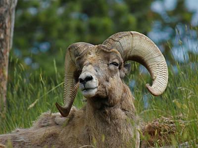 Big Horn Sheep Photograph - Bighorn Sheep by Ernie Echols
