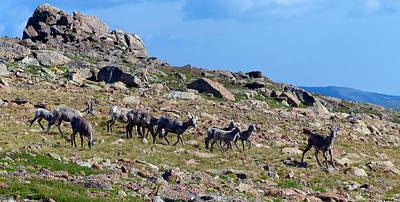 Photograph - Bighorn Sheep Gang Female by Thomas Samida