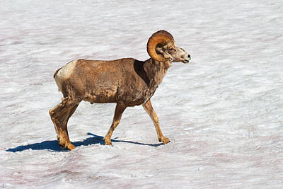Princess Diana - Bighorn Sheep Glacier National Park Montana by Ram Vasudev