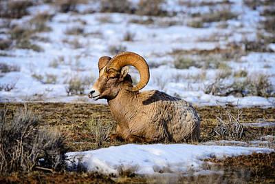 Bighorn Sheep Art Print by Greg Norrell