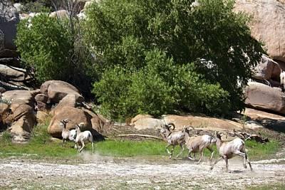 Bighorn Sheep In A Run Print by Renee Sinatra