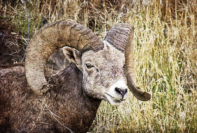 Photograph - Bighorn Sheep In Field by Athena Mckinzie