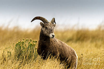 Photograph - Bighorn Sheep  by Mary Carol Story