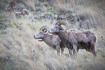 Photograph - Bighorn Sheep On Alert by Athena Mckinzie