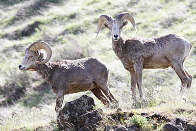 Photograph - Bighorn Sheep On The Mountain by Athena Mckinzie