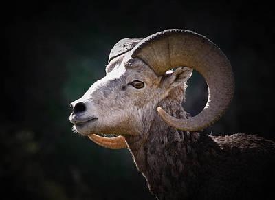Photograph - Bighorn Sheep Profile by Athena Mckinzie