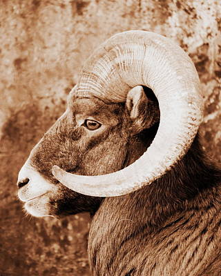 Photograph - Bighorn Sheep Profile by Ramona Johnston