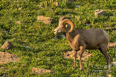 Bighorn Sheep Ram In Glacier 3 Art Print by Natural Focal Point Photography