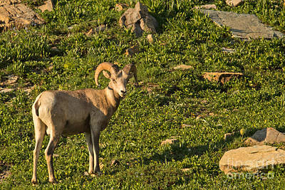 Bighorn Sheep Ram In Glacier 4 Art Print by Natural Focal Point Photography