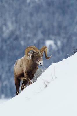 Rocky Mountain Sheep Photograph - Bighorn Sheep Ram On Winter Range by Ken Archer