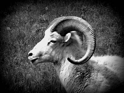 Photograph - Bighorn Sheep by Ramona Johnston