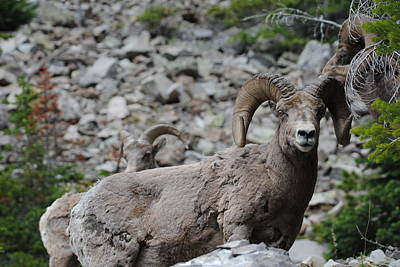 Photograph - Bighorn Sheep by Robert  Moss