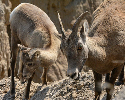Robin Williams Photograph - Bighorn Sheep by Robin Williams