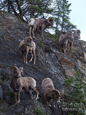 Photograph - Bighorn Sheep - Rocky Mountains by Phil Banks