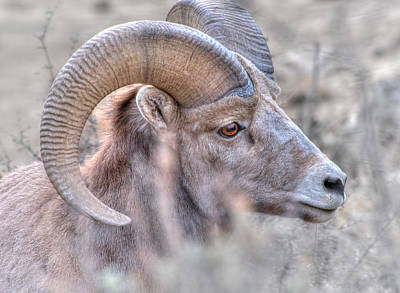 Photograph - Bighorn Soft by Britt Runyon
