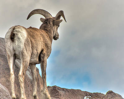 Photograph - Bighorn Viewing by Britt Runyon