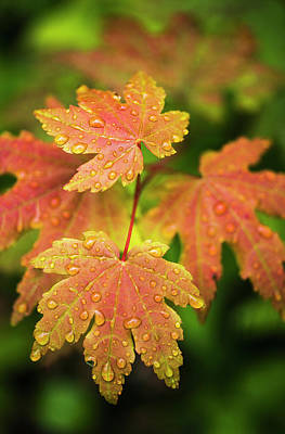 Bigleaf Maple Leaves Catch Raindrops Print by Robert L. Potts