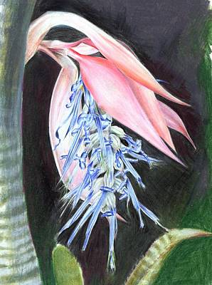 Painting - Billbergia Brasiliensis by Penrith Goff