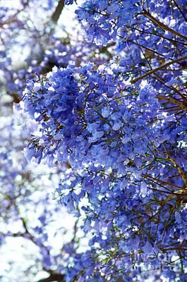 Jacaranda Tree Photograph - Billowy Jacaranda Blossom by Gwyn Newcombe