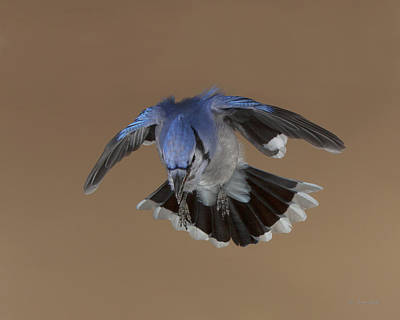 Photograph - Billy Blue Jay The Raptor Wannabe by Gerry Sibell