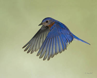 Photograph - Billy Bluebird by Gerry Sibell