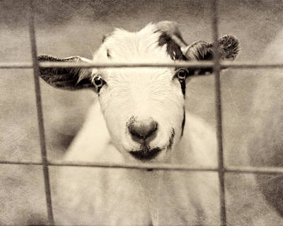 Goat Photograph - Billy G by Amy Tyler