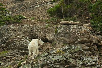 Mountain Goat Photograph - Billy Goat 3 by Natural Focal Point Photography