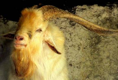 Down On The Farm 3 Photograph - Billy Goat Gruff by Karen Wiles
