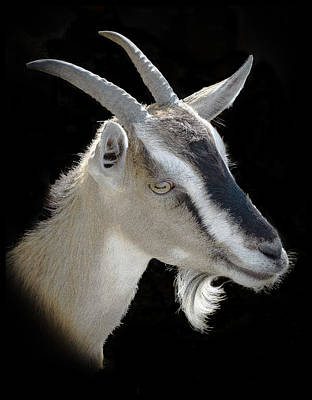 Photograph - Billy Goat by Kenneth Cole
