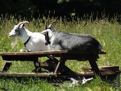 Photograph - Billy Goats Picnic by Brenda Brown