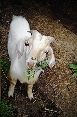 Billy The Goat Art Print by Pamela Patch