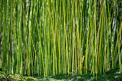 Photograph - Biltmore Bamboo by Jon Exley