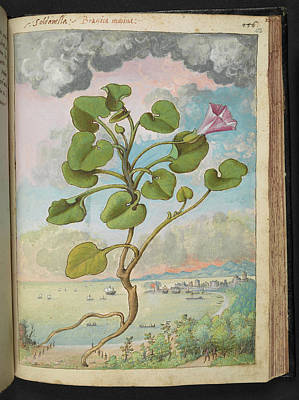 Morning Glories Photograph - Bindweed (calystegia Soldanella) by British Library