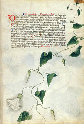 Morning Glories Photograph - Bindweed (convolvulus Sp.) by British Library