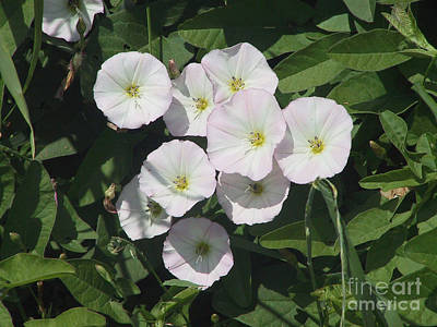 Photograph - White Trumpet Wildflower In Bloom On The Farm by Conni Schaftenaar