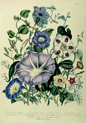 Morning Glories Photograph - Bindweed, Plate 26 From The Ladies Flower Garden, Published 1842 Colour Litho by Jane Loudon