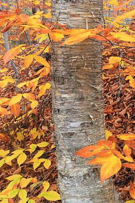 Photograph - Birch And Beech Fall Foliage by John Burk