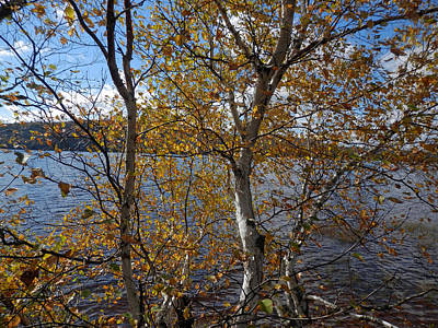 Photograph - Birch And Lake by Pema Hou