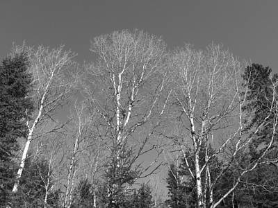 Photograph - Birch And Spruce by Gene Cyr