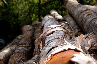 Photograph - Birch Bark Curl by Kerri Mortenson