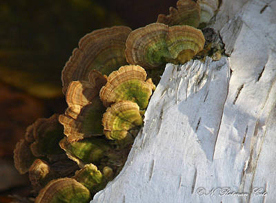 Photograph - Birch Bark by Natalie Rotman Cote