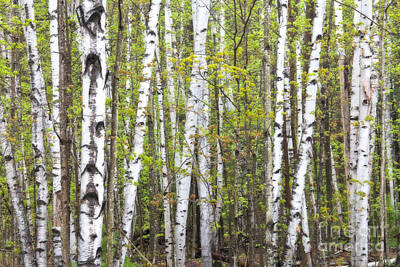 Photograph - Birch Dream by Susan Cole Kelly
