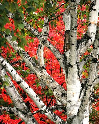 Print featuring the photograph Birch Eclipsing Maple by Doris Potter