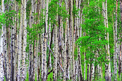 Photograph - Birch Forest 2 by Jim Boardman