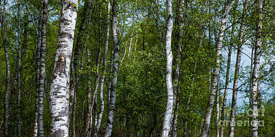 Birch Forest In The Summer Print by Hannes Cmarits